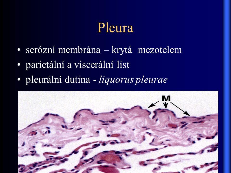 Pleura serózní membrána – krytá mezotelem parietální a viscerální list