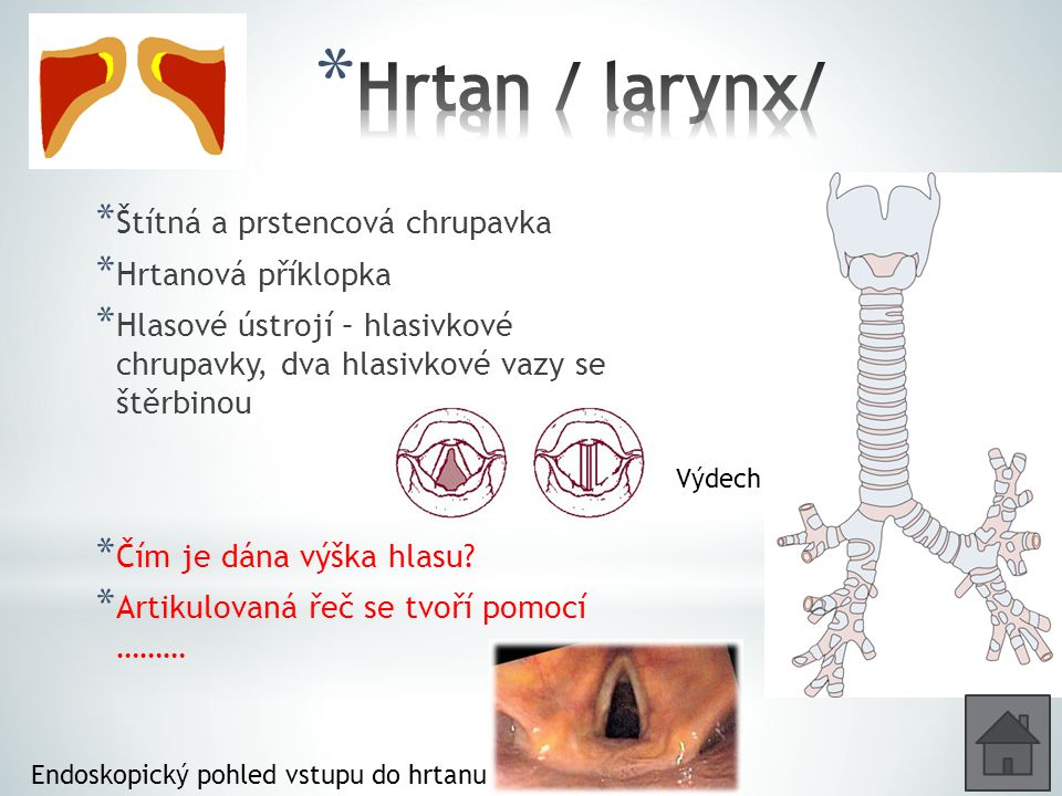 Hrtan / larynx/ Štítná a prstencová chrupavka Hrtanová příklopka