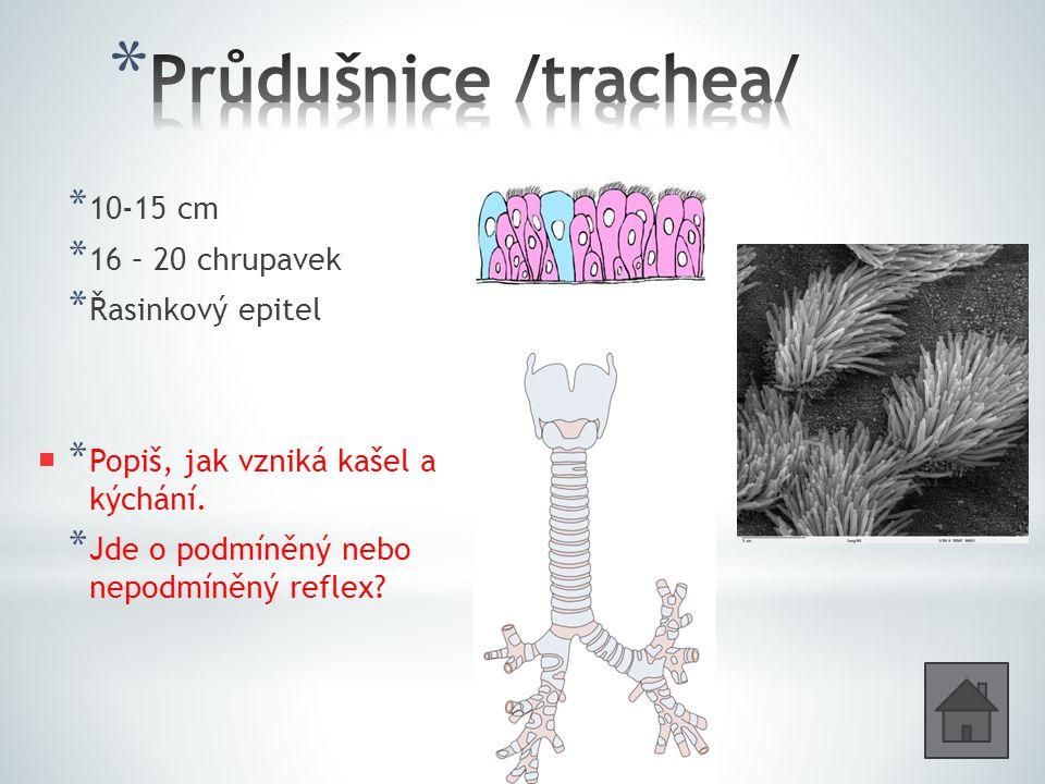 Průdušnice /trachea/ 10-15 cm 16 – 20 chrupavek Řasinkový epitel