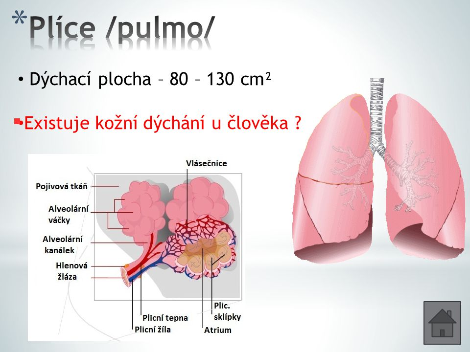 Plíce /pulmo/ Dýchací plocha – 80 – 130 cm²