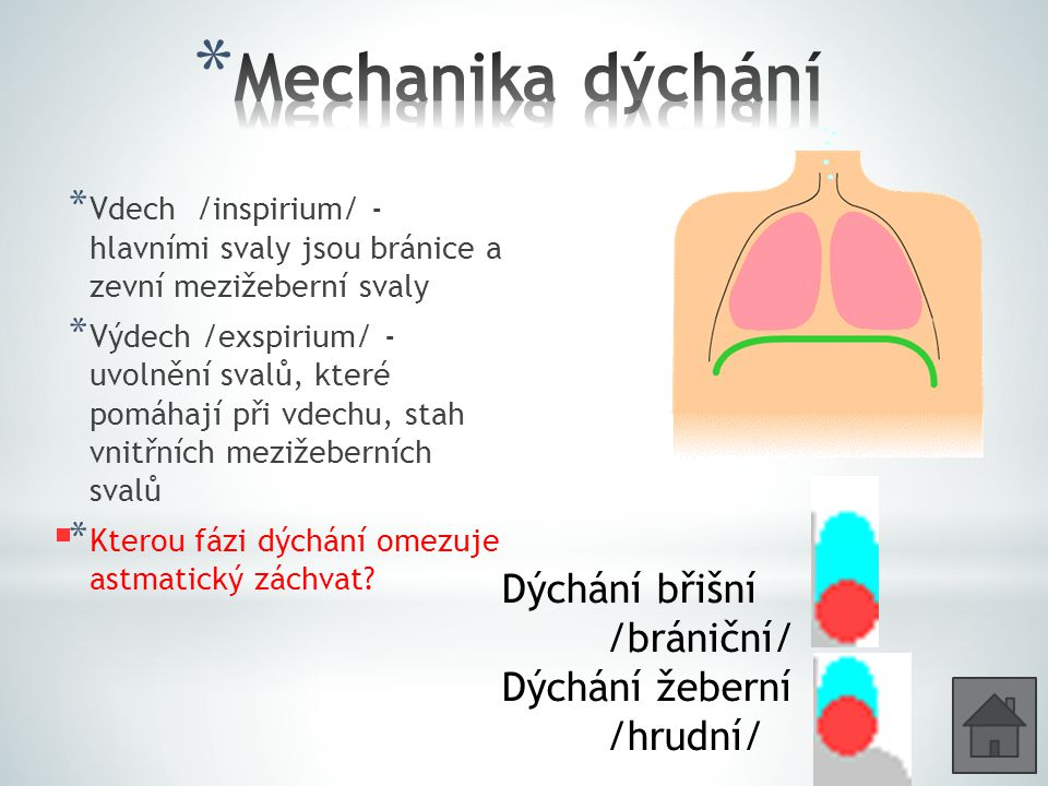 Mechanika dýchání Dýchání břišní /brániční/ Dýchání žeberní /hrudní/