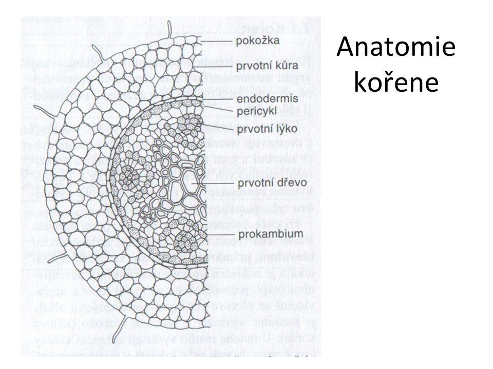 Anatomie kořene