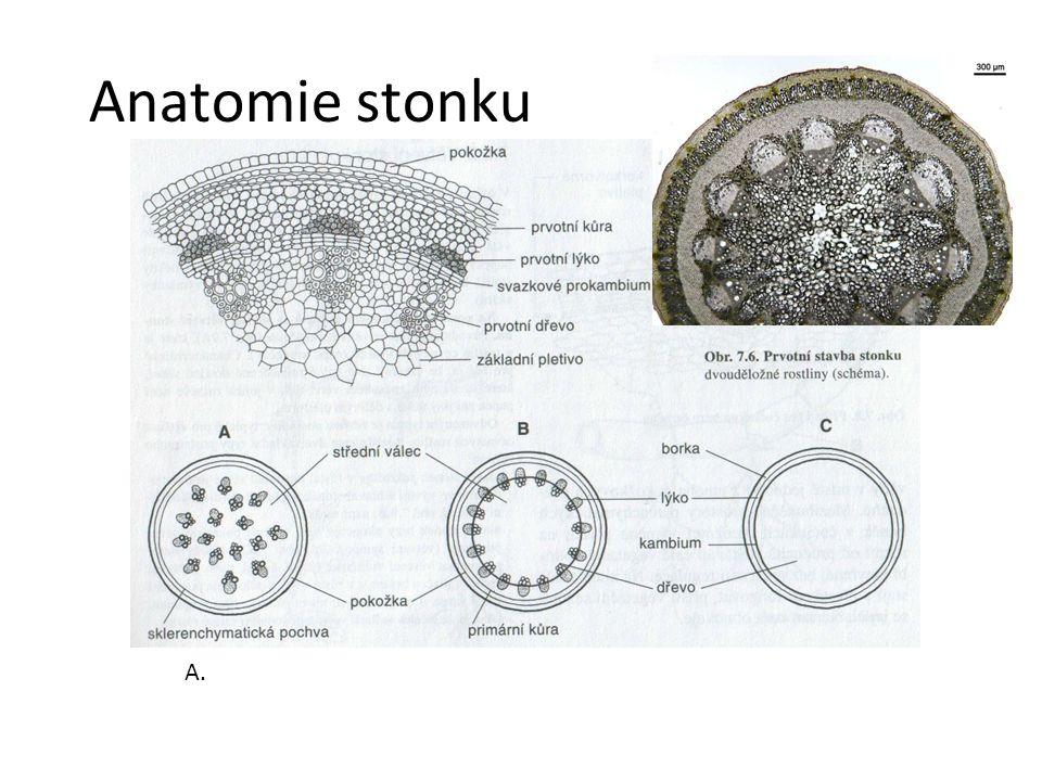 Anatomie stonku jednoděložná rostlina B. dvouděložná bylina
