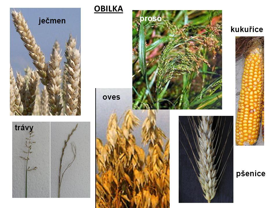 OBILKA proso ječmen kukuřice oves trávy pšenice