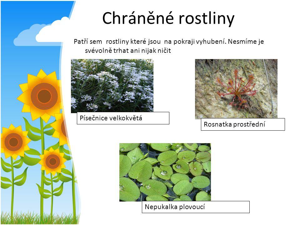 Chráněné rostliny Patří sem rostliny které jsou na pokraji vyhubení. Nesmíme je svévolně trhat ani nijak ničit.