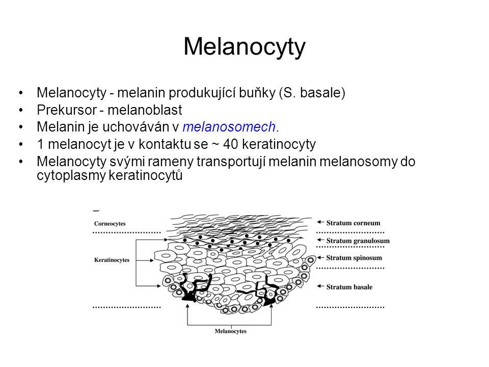 Melanocyty Melanocyty - melanin produkující buňky (S. basale)
