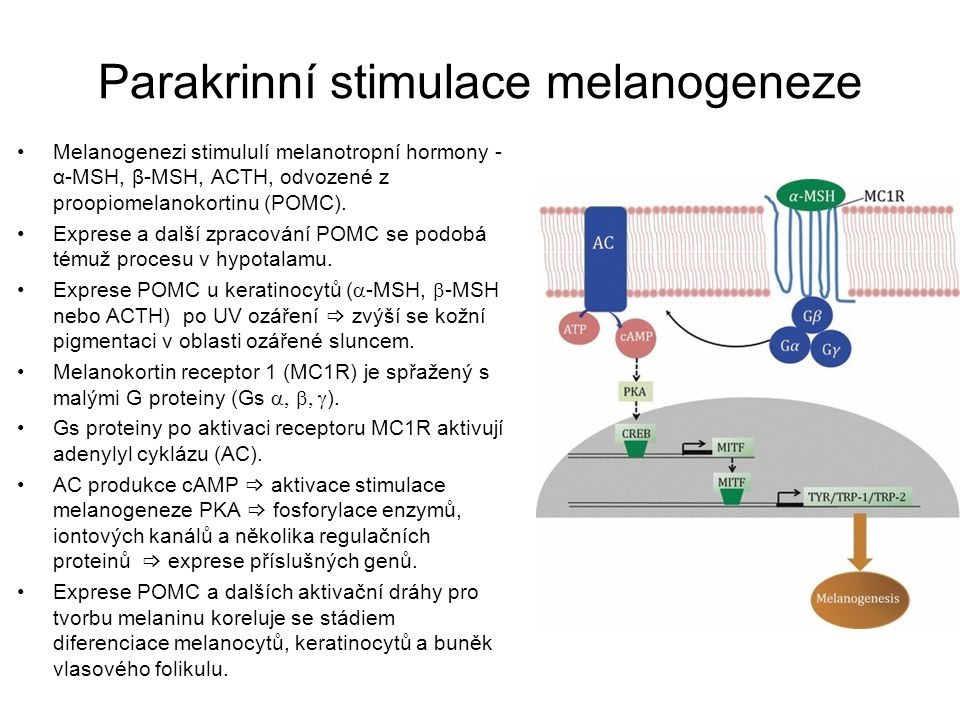 Parakrinní stimulace melanogeneze