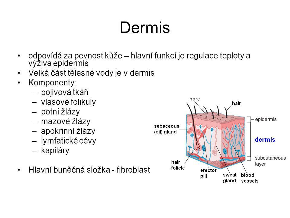 Dermis odpovídá za pevnost kůže – hlavní funkcí je regulace teploty a výživa epidermis. Velká část tělesné vody je v dermis.