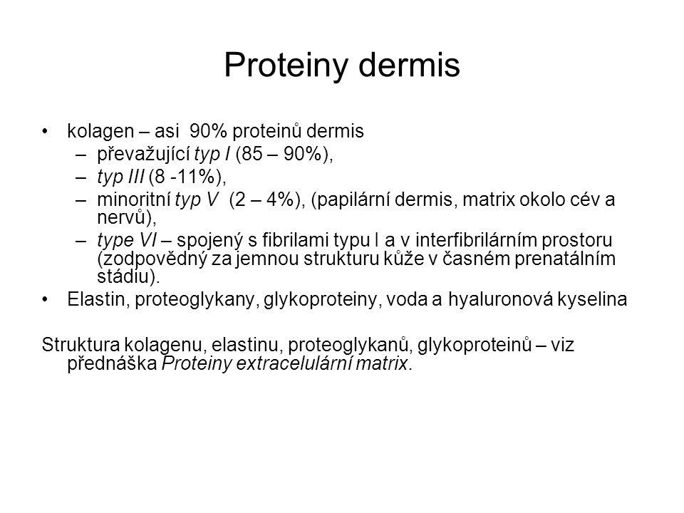 Proteiny dermis kolagen – asi 90% proteinů dermis