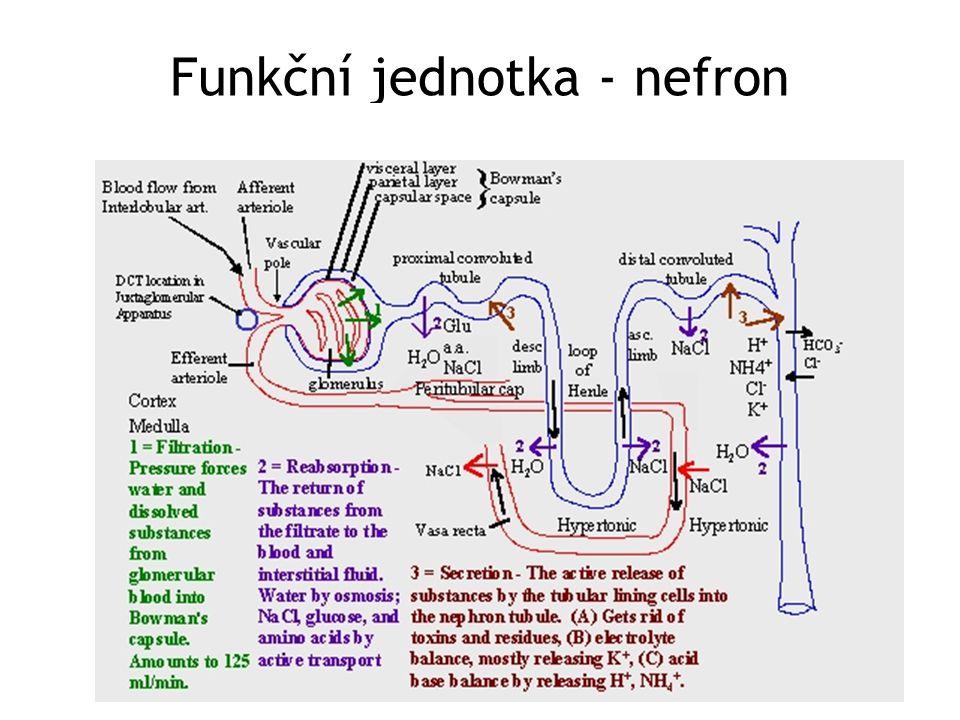 Funkční jednotka - nefron