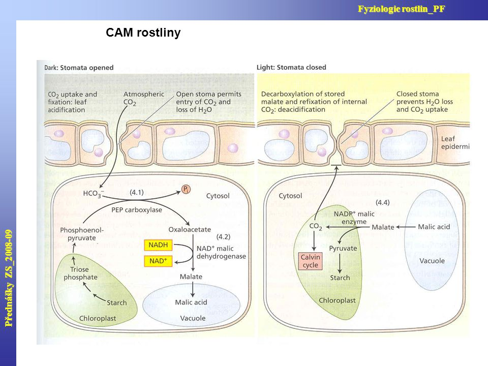 Přednášky ZS_2008-09 Fyziologie rostlin_PF CAM rostliny