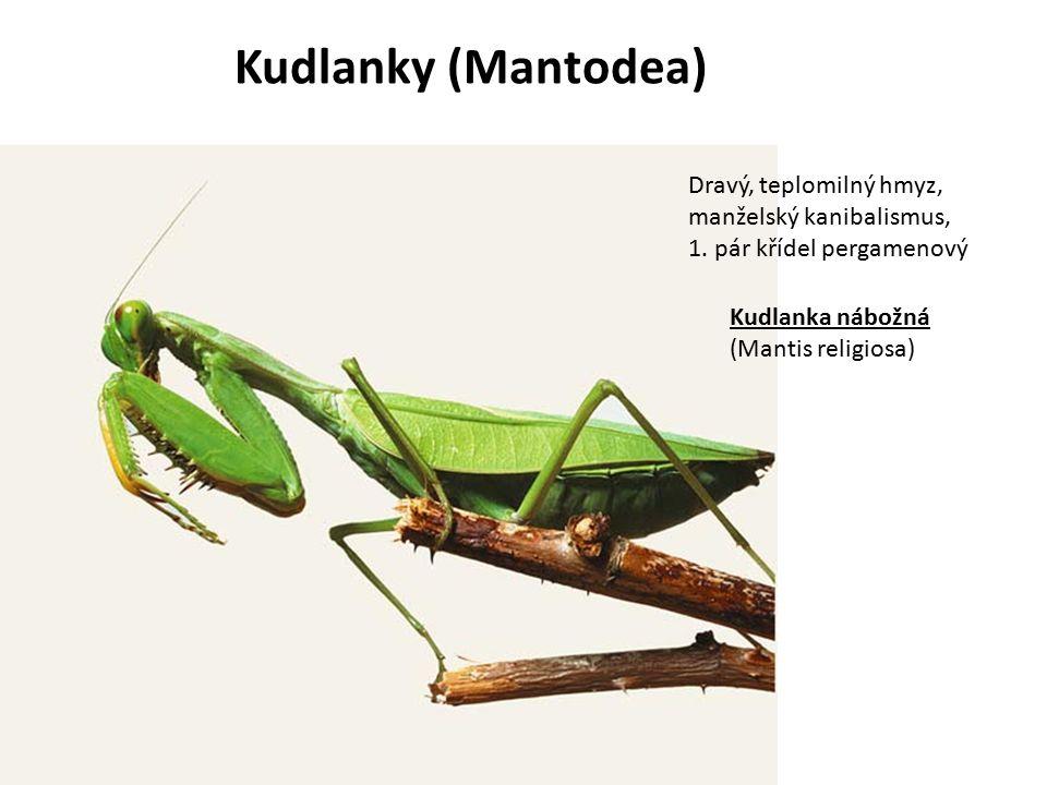 Kudlanky (Mantodea) Dravý, teplomilný hmyz, manželský kanibalismus,