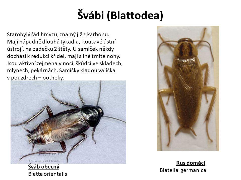 Švábi (Blattodea) Starobylý řád hmyzu, známý již z karbonu.
