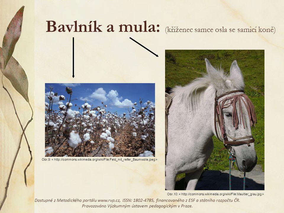 Bavlník a mula: (kříženec samce osla se samicí koně)