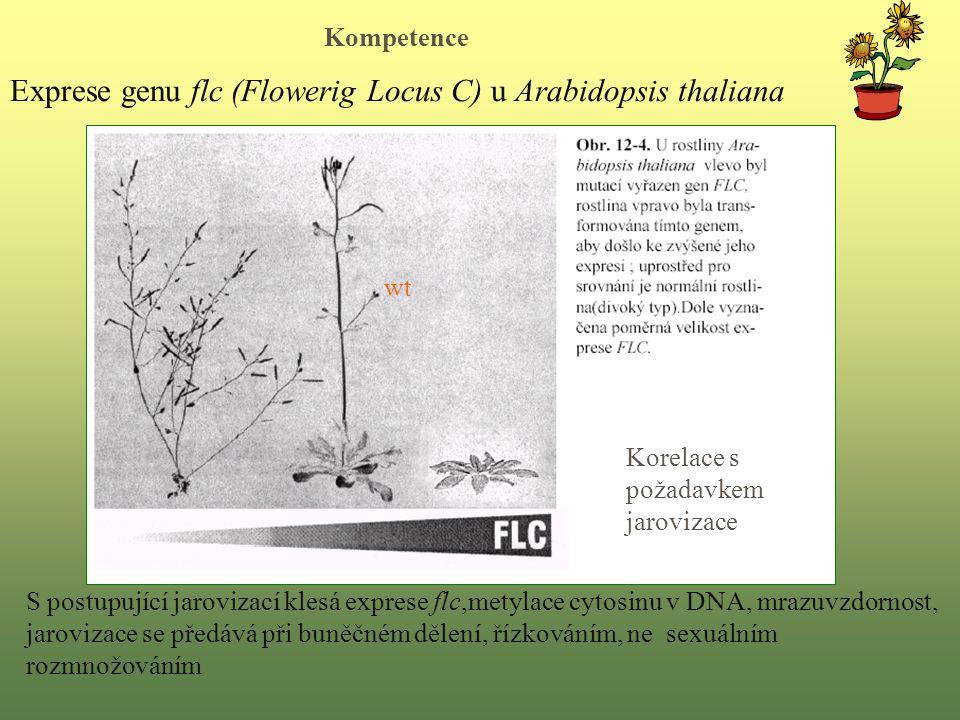 Exprese genu flc (Flowerig Locus C) u Arabidopsis thaliana