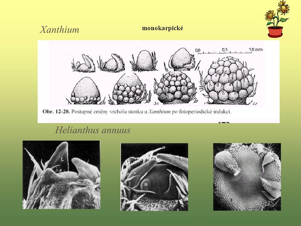 Xanthium monokarpické Helianthus annuus