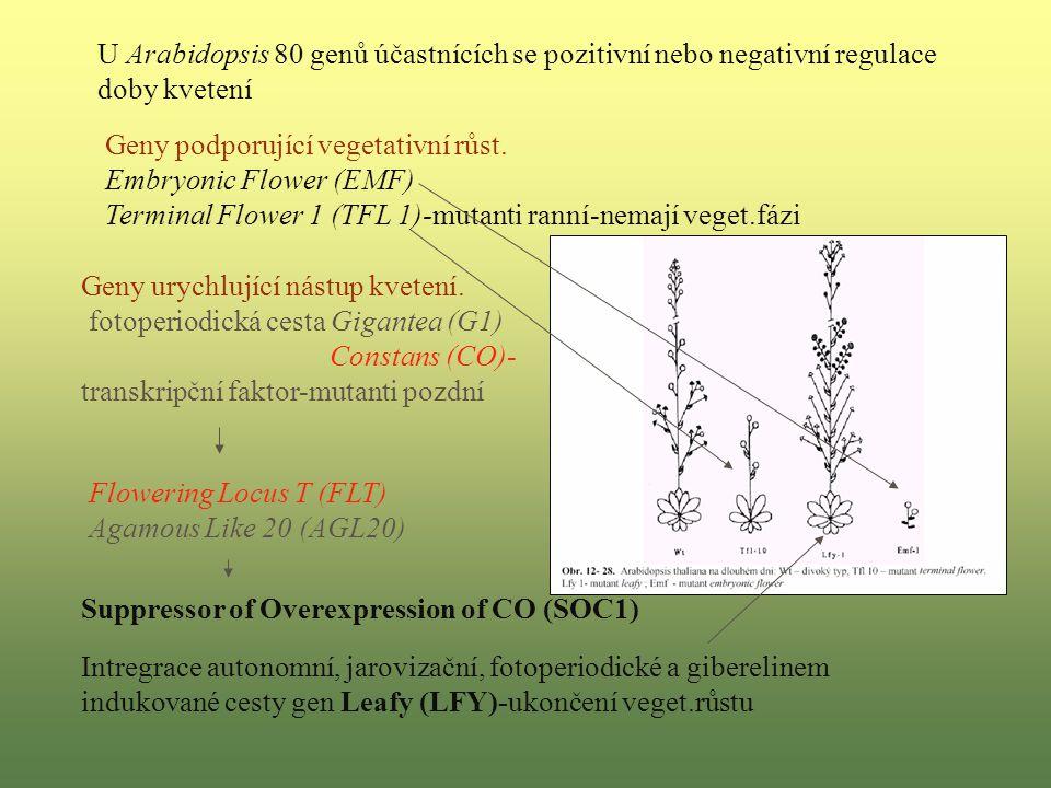 U Arabidopsis 80 genů účastnících se pozitivní nebo negativní regulace doby kvetení