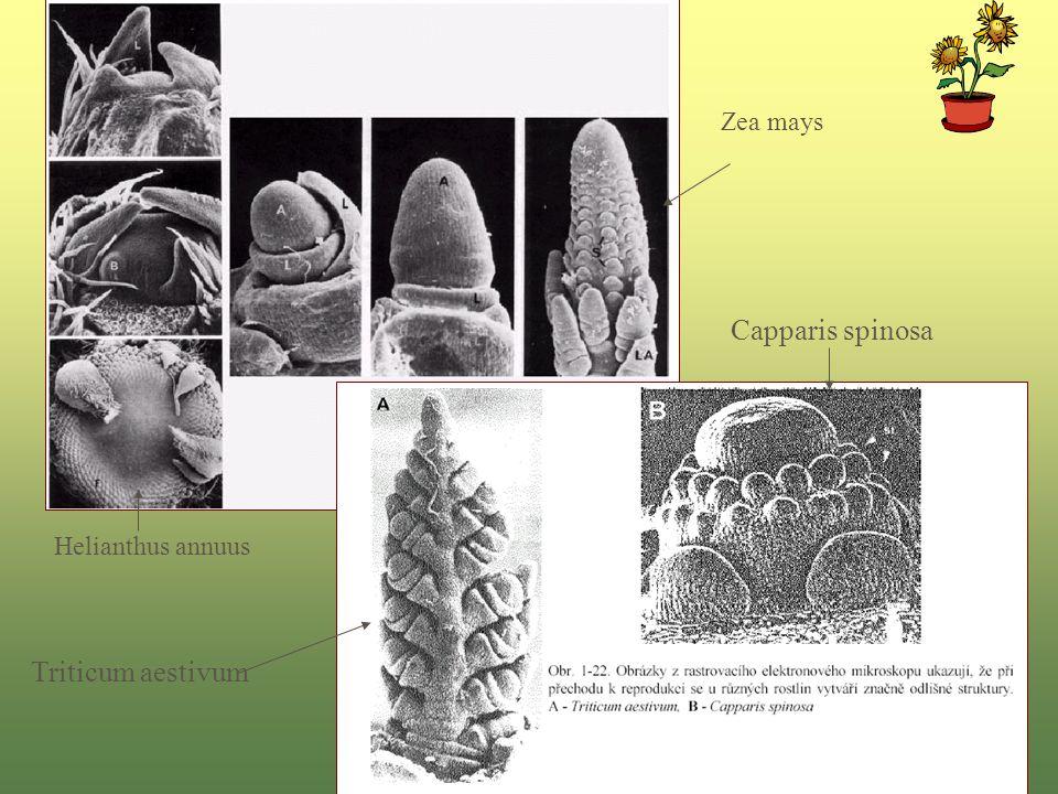 Capparis spinosa Triticum aestivum Zea mays Helianthus annuus