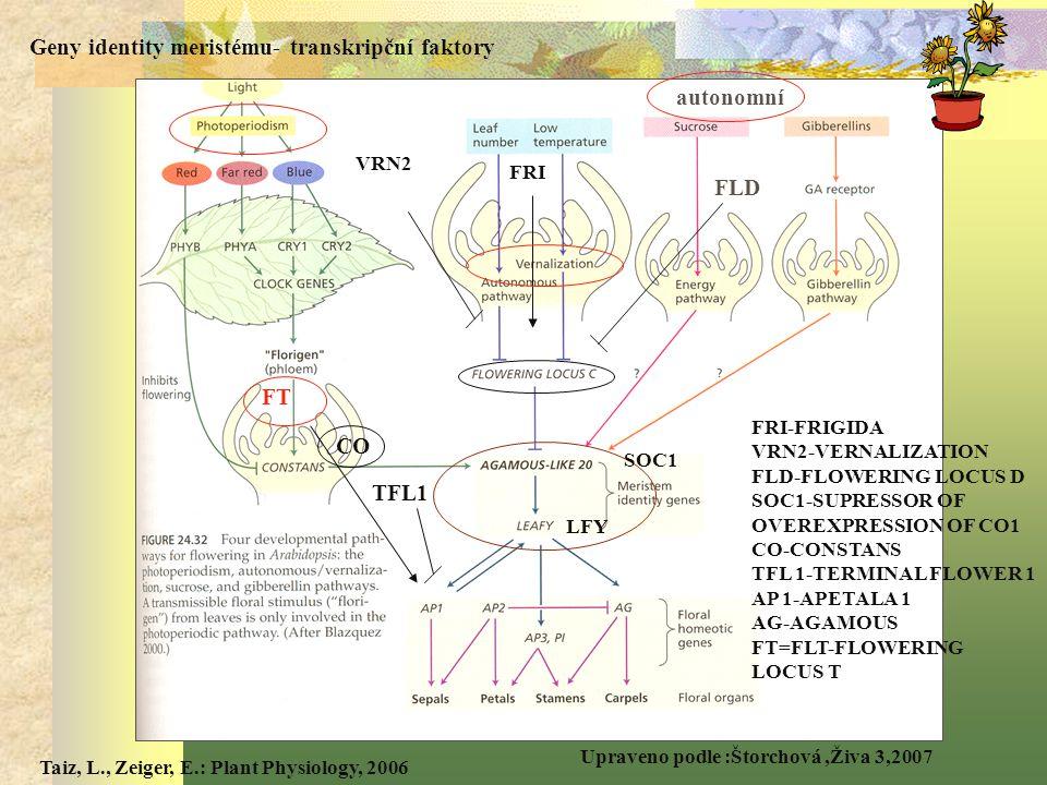 Geny identity meristému- transkripční faktory autonomní FLD CO TFL1
