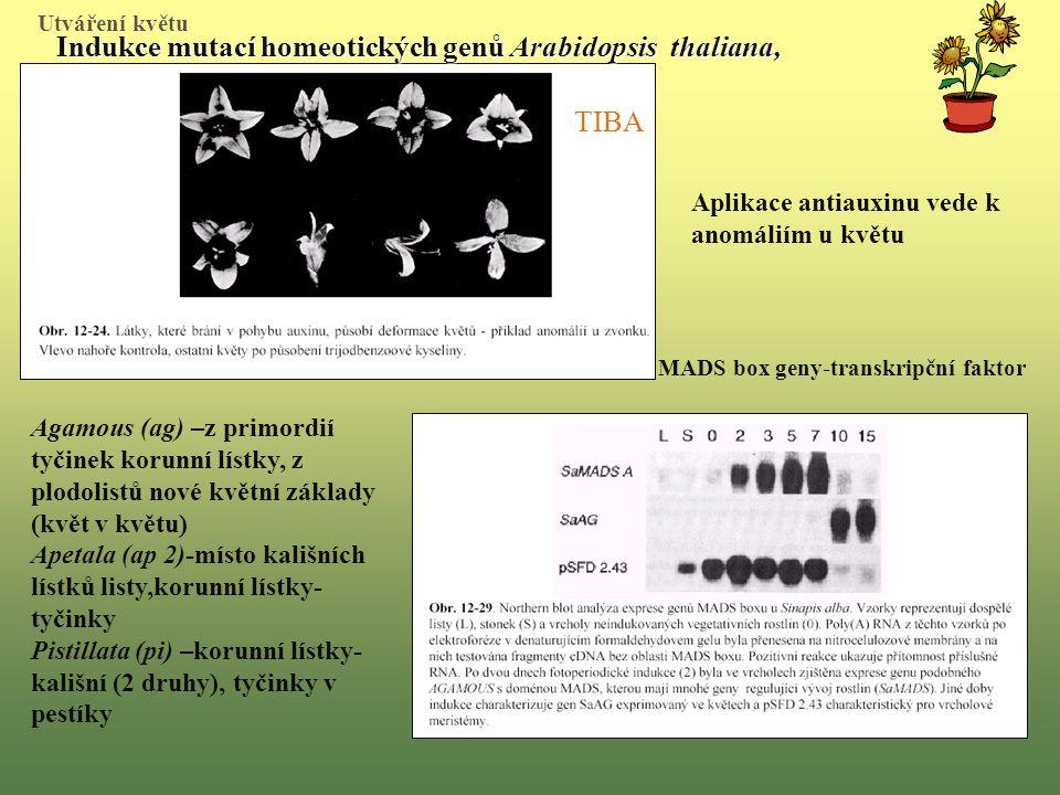 MADS box geny-transkripční faktor