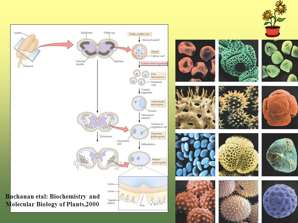 Buchanan etal: Biochemistry and Molecular Biology of Plants,2000