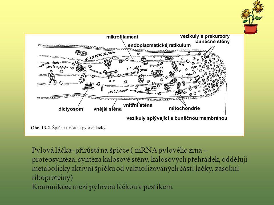 Pylová láčka- přirůstá na špičce ( mRNA pylového zrna – proteosyntéza, syntéza kalosové stěny, kalosových přehrádek, oddělují metabolicky aktivní špičku od vakuolizovaných částí láčky, zásobní riboproteiny)