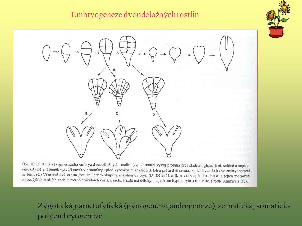 Embryogeneze dvouděložných rostlin