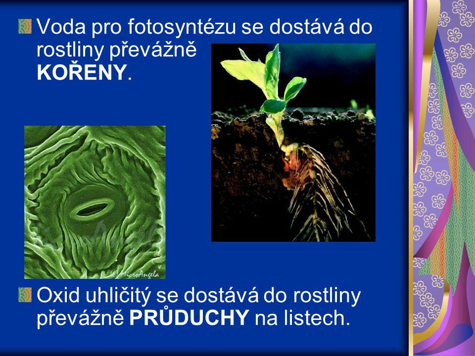 Voda pro fotosyntézu se dostává do rostliny převážně KOŘENY.