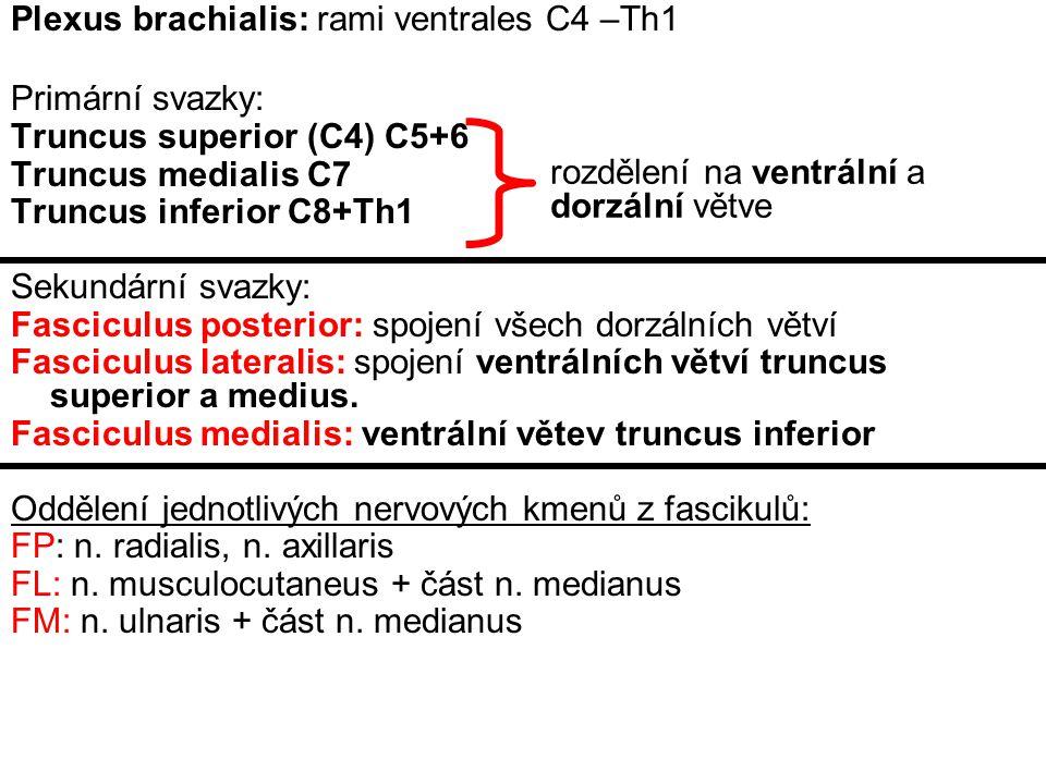 Plexus brachialis: rami ventrales C4 –Th1
