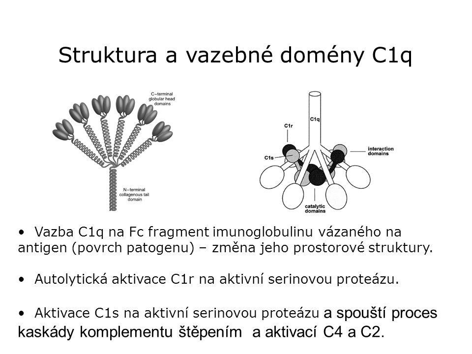 Struktura a vazebné domény C1q