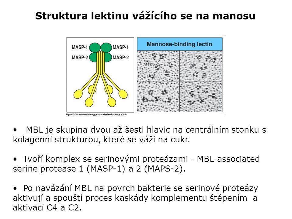 Struktura lektinu vážícího se na manosu