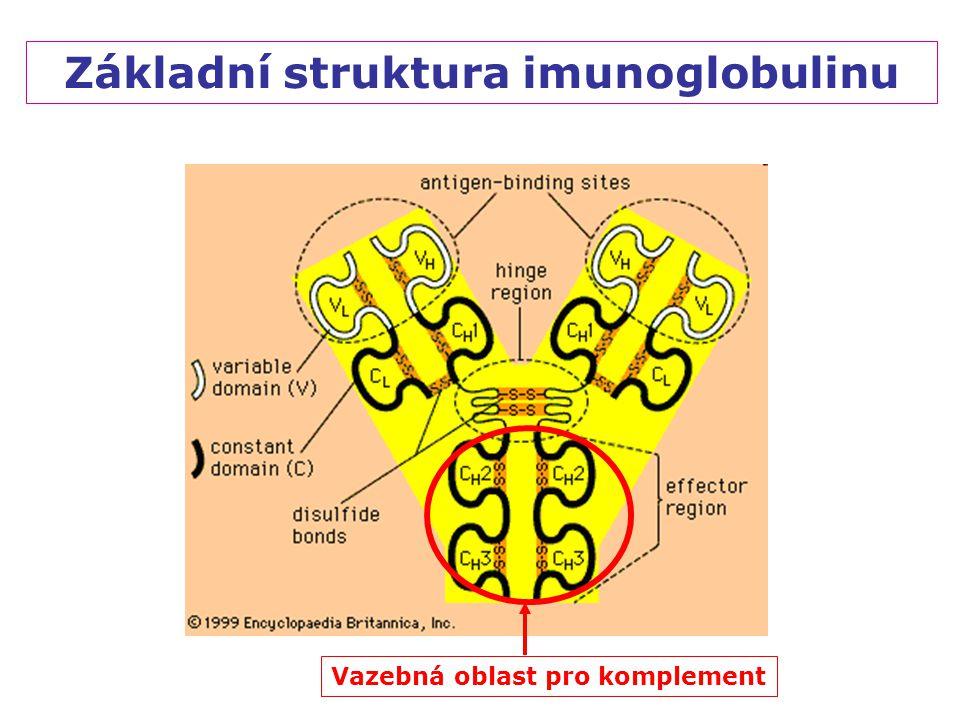 Základní struktura imunoglobulinu