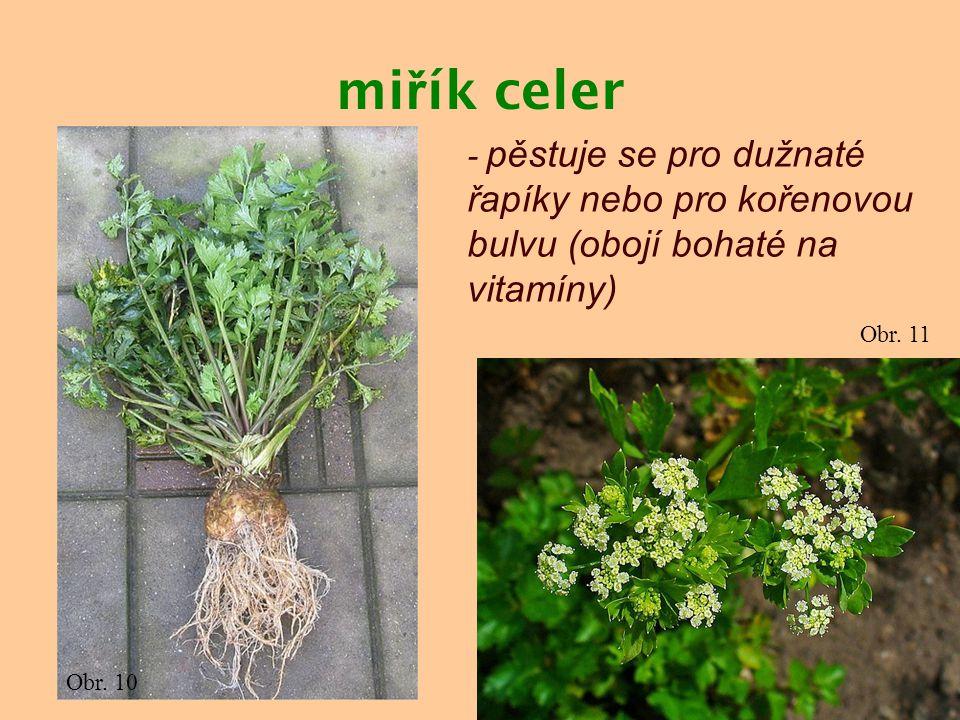 miřík celer - pěstuje se pro dužnaté řapíky nebo pro kořenovou bulvu (obojí bohaté na vitamíny) Obr. 11.