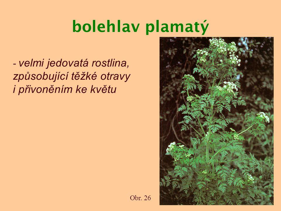 bolehlav plamatý - velmi jedovatá rostlina, způsobující těžké otravy i přivoněním ke květu Obr. 26
