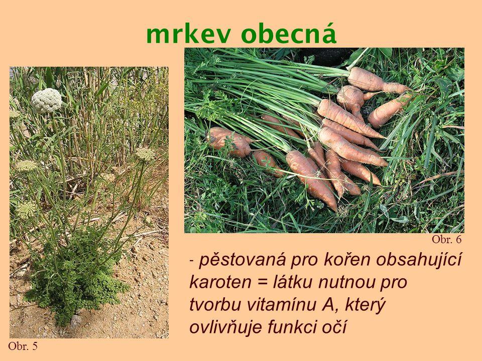 mrkev obecná Obr. 6. - pěstovaná pro kořen obsahující karoten = látku nutnou pro tvorbu vitamínu A, který ovlivňuje funkci očí.