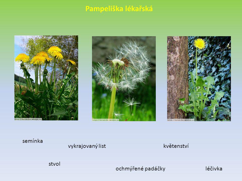 Pampeliška lékařská semínka vykrajovaný list květenství stvol