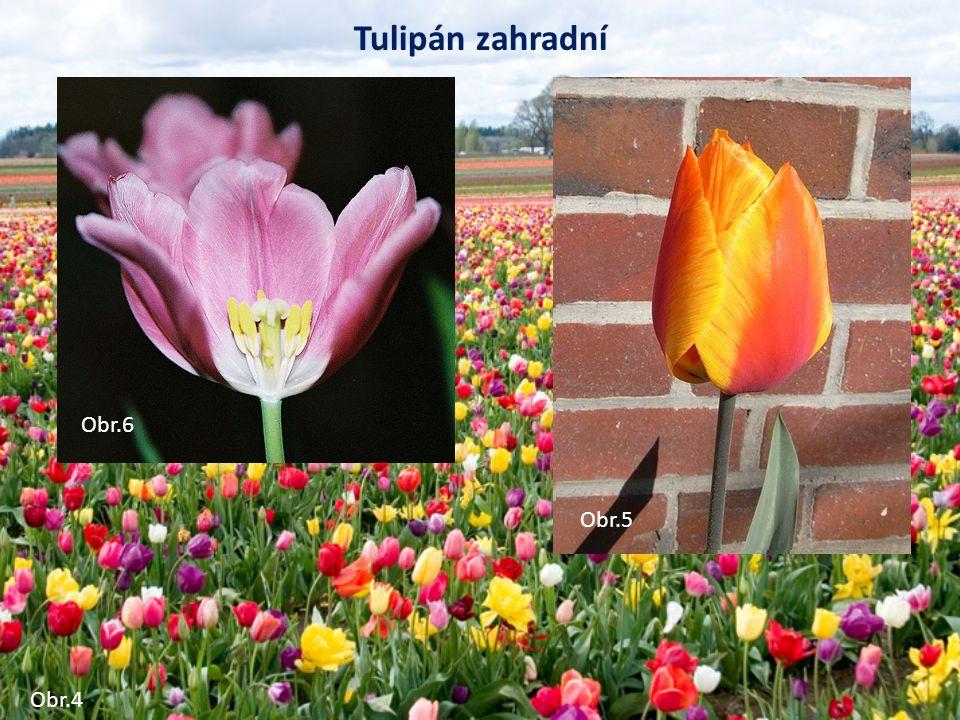 Tulipán zahradní Obr.6 Obr.5 Obr.5 Obr.5 Obr.4