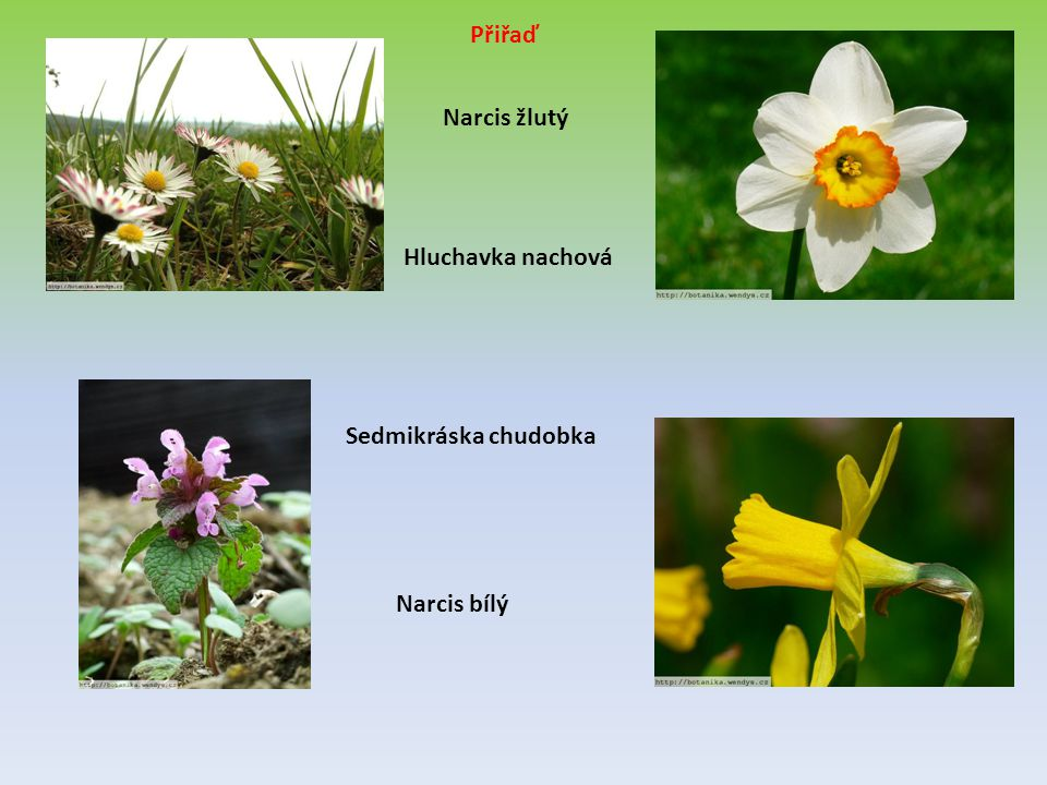 Přiřaď Narcis žlutý Hluchavka nachová Sedmikráska chudobka Narcis bílý