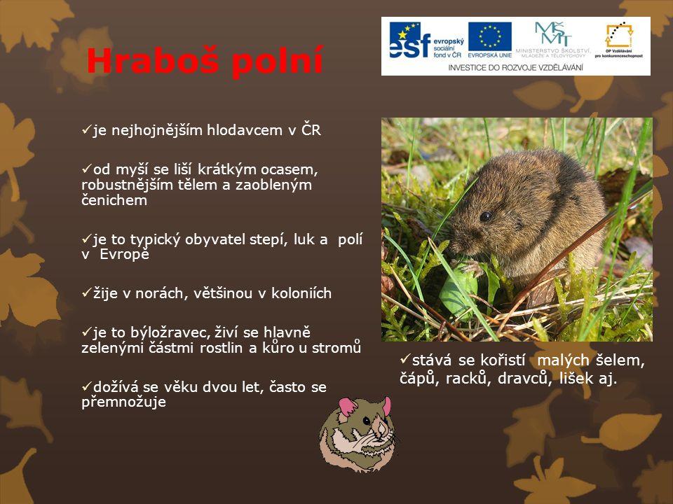 Hraboš polní je nejhojnějším hlodavcem v ČR. od myší se liší krátkým ocasem, robustnějším tělem a zaobleným čenichem.