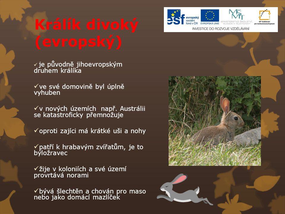 Králík divoký (evropský)