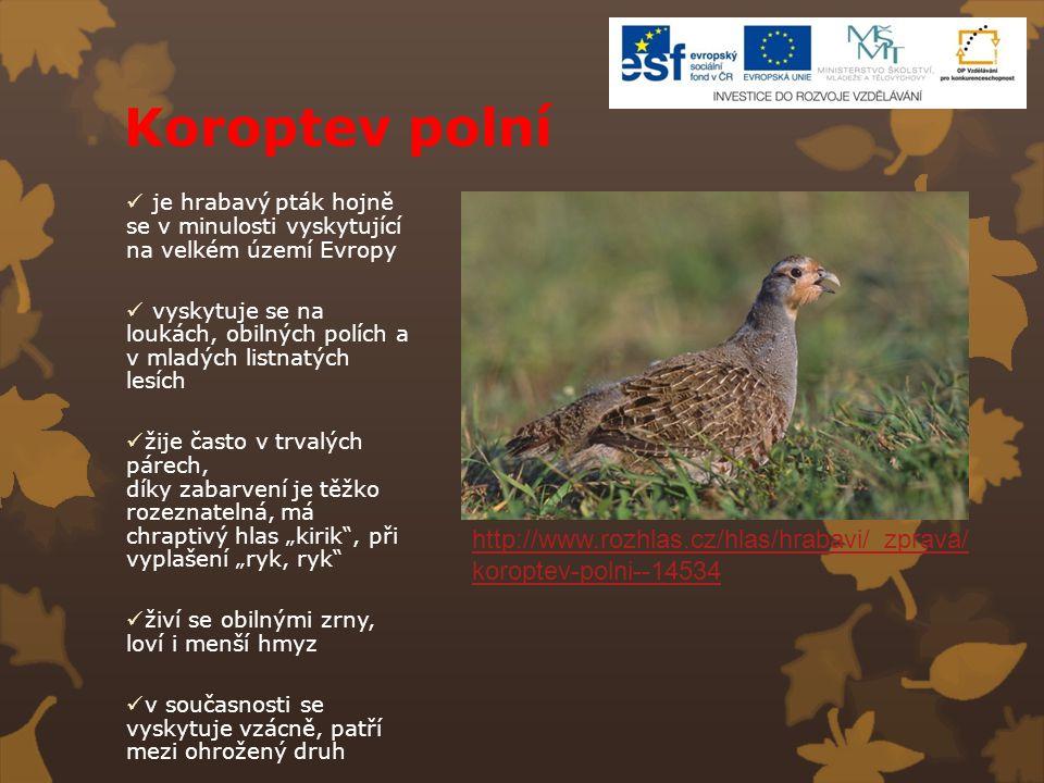 Koroptev polní je hrabavý pták hojně se v minulosti vyskytující na velkém území Evropy.