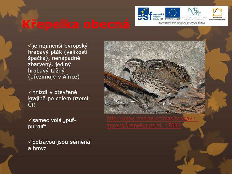 Křepelka obecná je nejmenší evropský hrabavý pták (velikosti špačka), nenápadně zbarvený, jediný hrabavý tažný (přezimuje v Africe)
