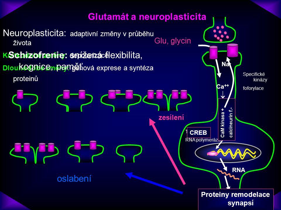 Glutamát a neuroplasticita Proteiny remodelace synapsí