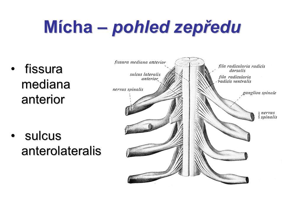 Mícha – pohled zepředu fissura mediana anterior sulcus anterolateralis