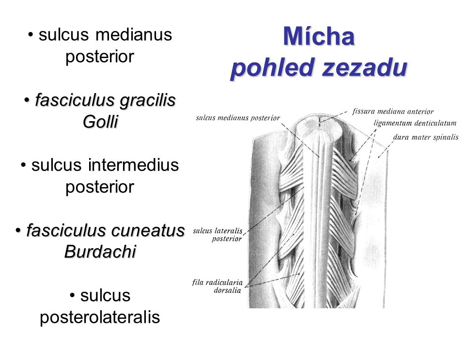 Mícha pohled zezadu sulcus medianus posterior