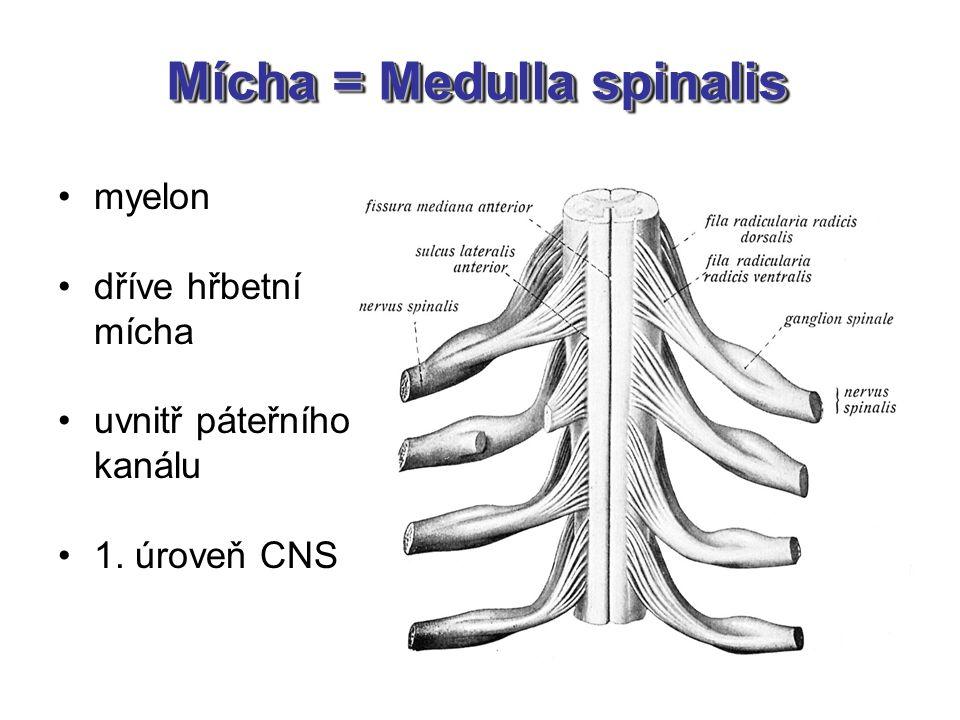 Mícha = Medulla spinalis