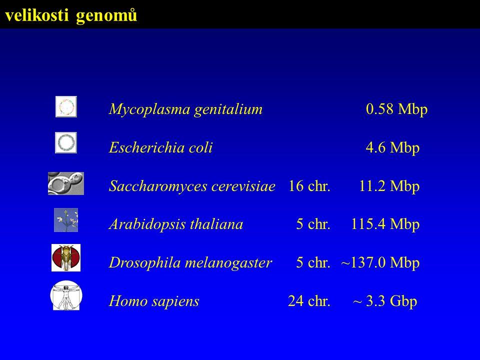 velikosti genomů Mycoplasma genitalium 0.58 Mbp