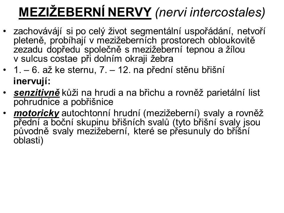 MEZIŽEBERNÍ NERVY (nervi intercostales)