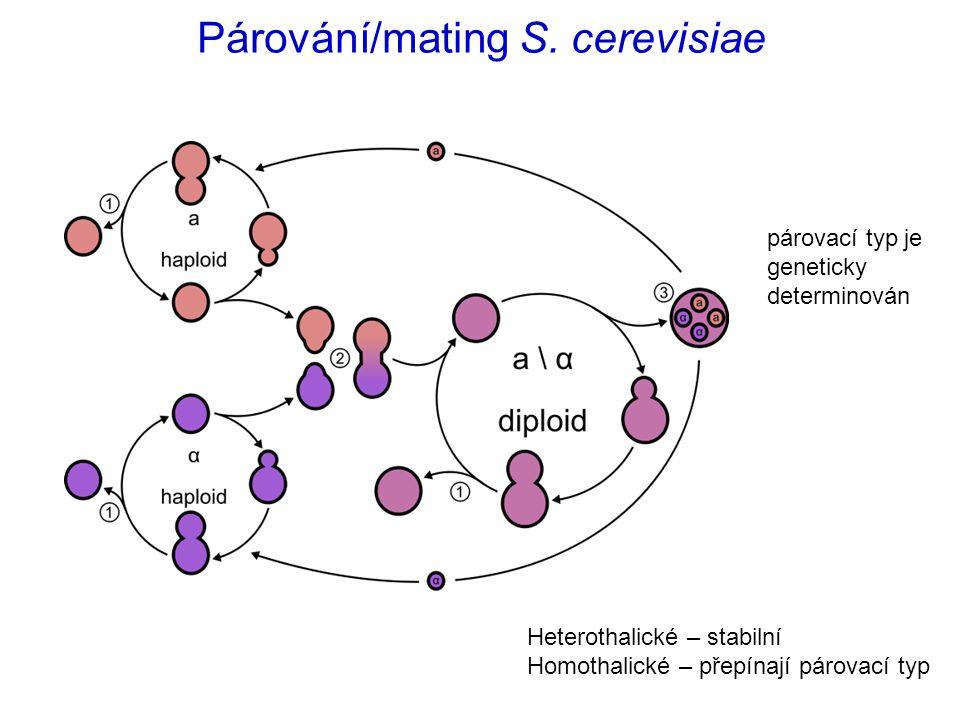 Párování/mating S. cerevisiae