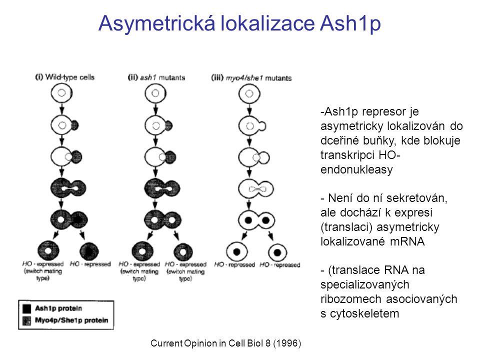 Asymetrická lokalizace Ash1p
